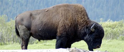 """Tribes and First Nations sign """"Buffalo Treaty""""   THE"""