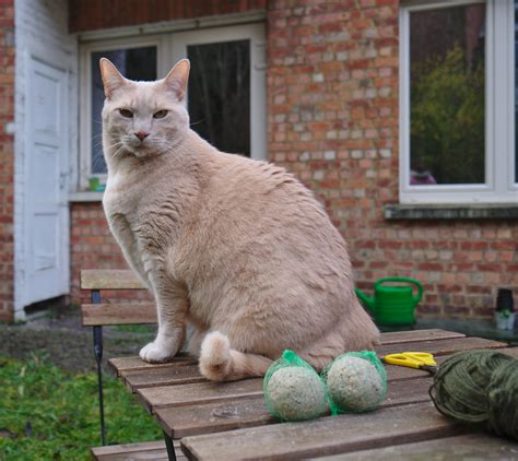 File:Larry the cat sitting on a table next to bird food